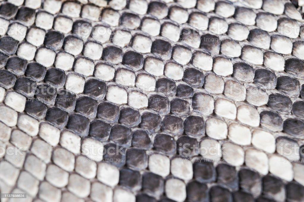 Structure natural snake skin pattern. Piton skin background. Python...