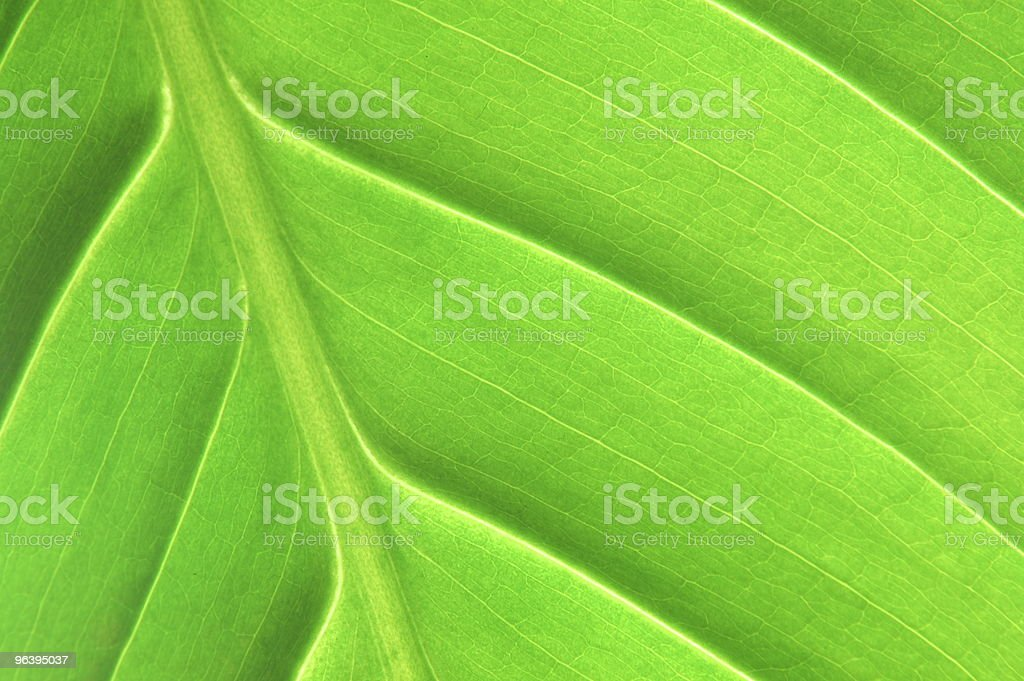 structure of a leaf - Royalty-free Abstract Stock Photo