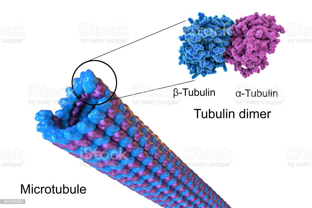 Structure of a microtubule, illustration stock photo