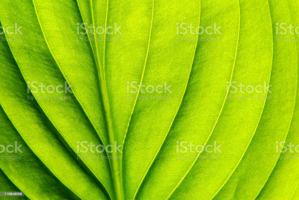 structure of leaf royalty-free stock photo