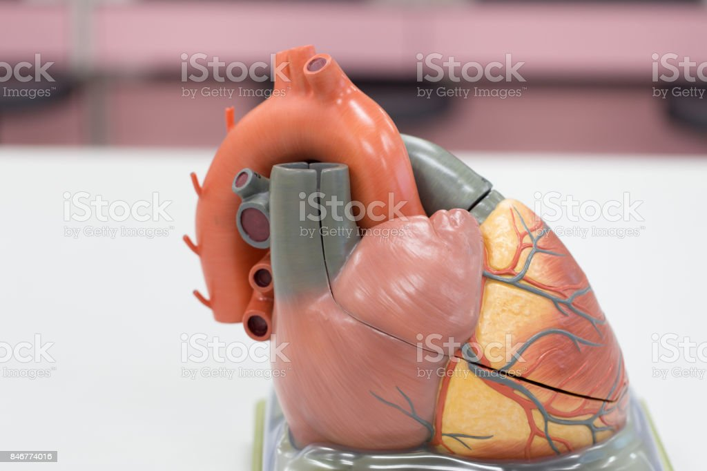 Structure of the heart for classroom education. stock photo