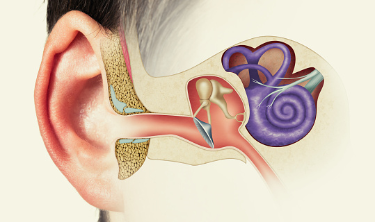 The anatomical structure of the human ear. Image