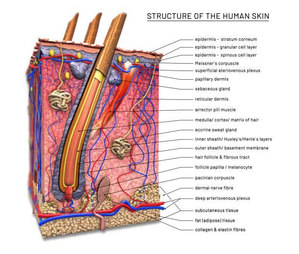 struktur der menschlichen haut, querschnitt der haarfollikel mit beschreibungen-3d abbildung - schichthaare stock-fotos und bilder