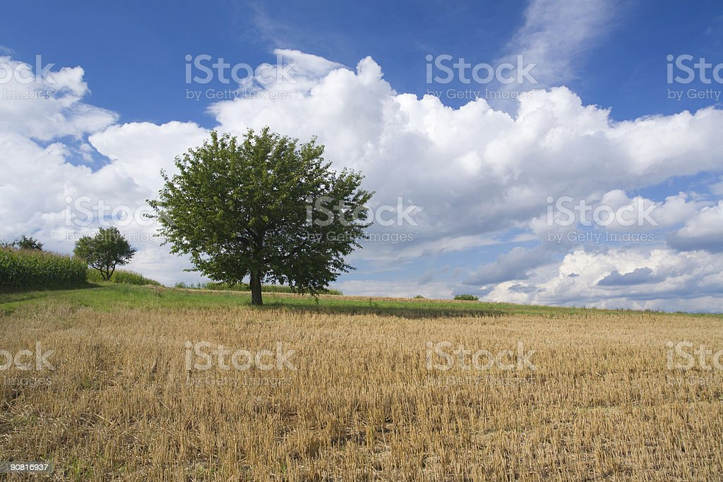 stubble field and cherry tree royalty-free stock photo