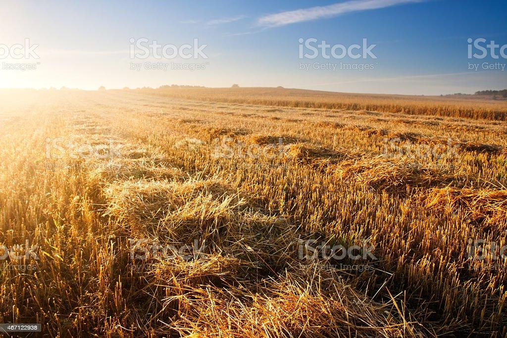 Stubble field at sunrise stock photo