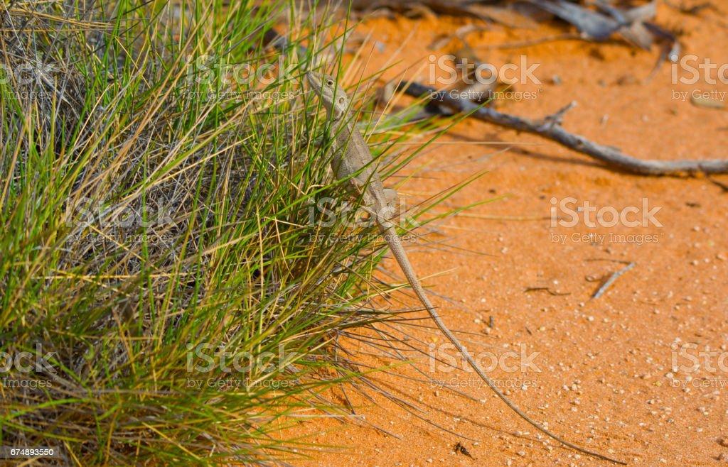 Stuck on Gluepot South Australia - Spinifex Lizard taking refuge stock photo