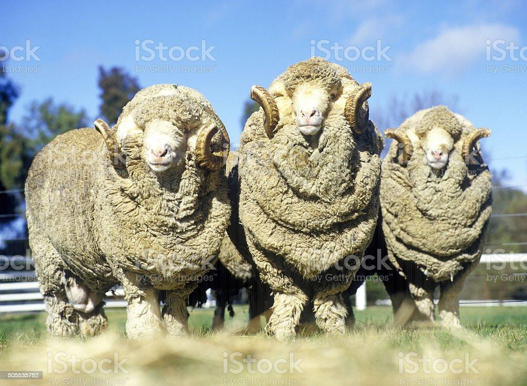 rams de tornillo prisionero merina foto de stock libre de derechos