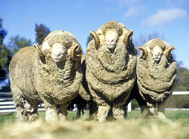 stud merino rams stud merino rams on Australian farm. merino sheep stock pictures, royalty-free photos & images