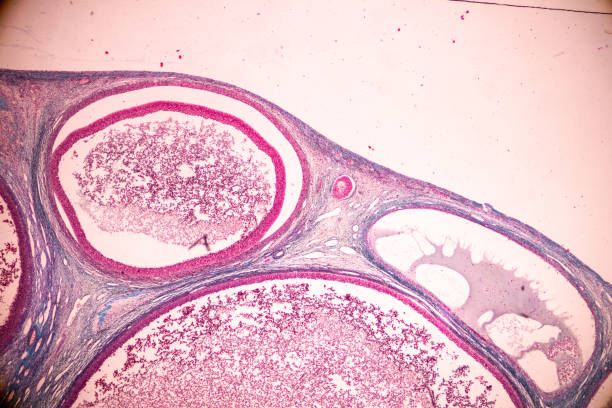 Student learning anatomy and physiology of Ovary under the microscopic in laboratory. stock photo