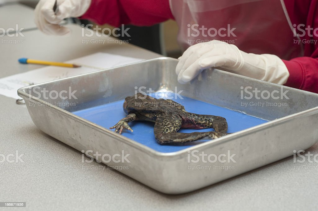 Student preparing to disect a frog royalty-free stock photo
