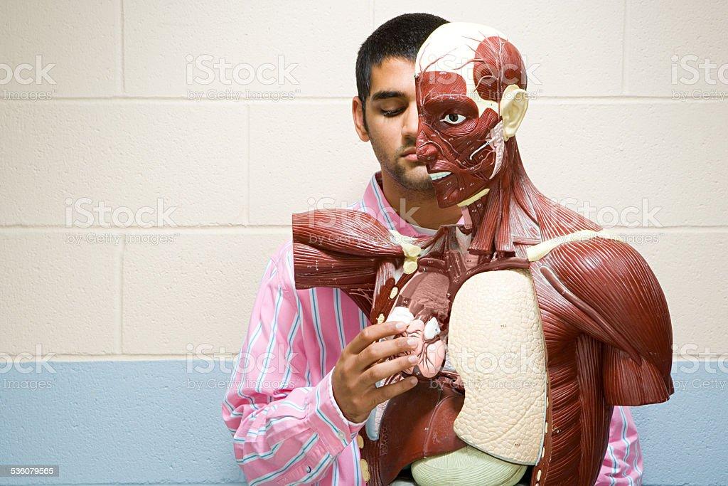 Student using anatomical model stock photo