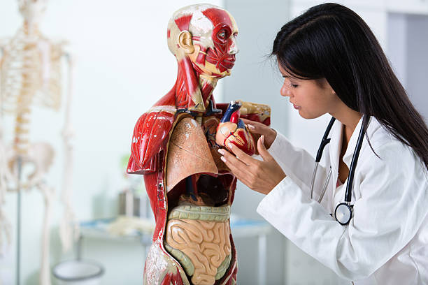 Student with anatomical model of human body Female student learning anatomy, looking at anatomical model of a human heart and body. ventriloquist's dummy stock pictures, royalty-free photos & images