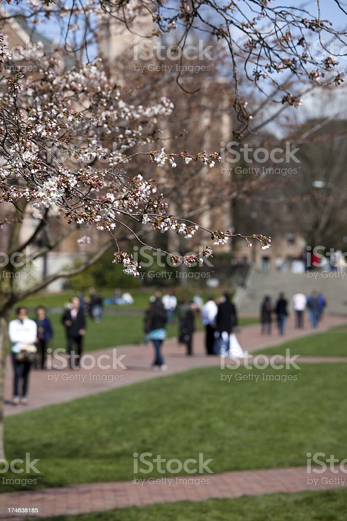 Students and Crowds enjoy Cherry Blossoms on the UW Campus royalty-free stock photo