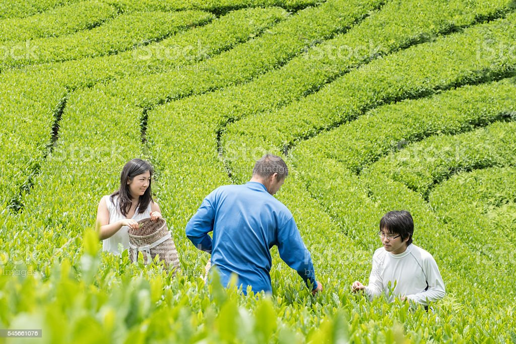 Students Learning Tea Cultivation from Mature Japanese Farmer in Plantation stock photo