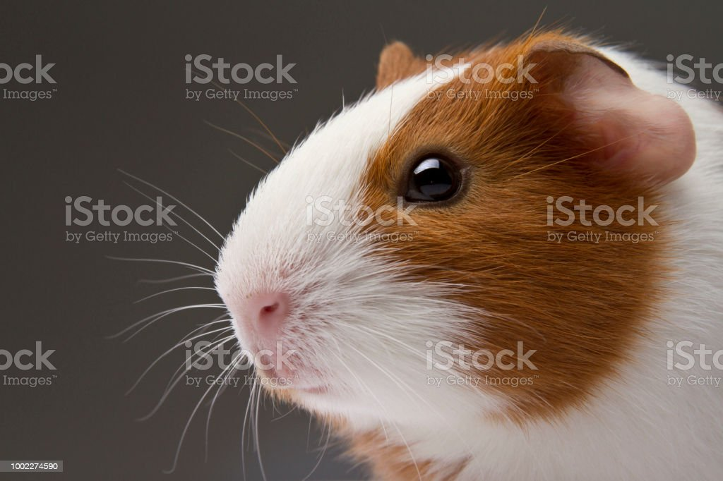 Studio Guinea Pig Headshot stock photo