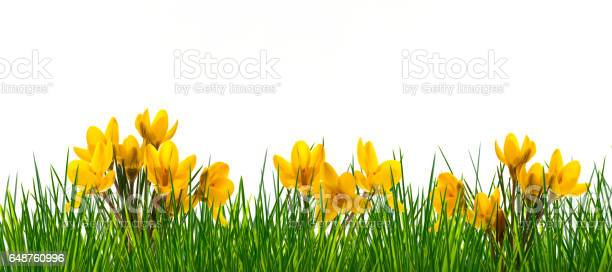 crocuses in meadow on white background