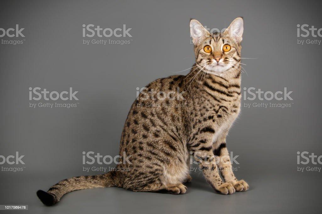 Studio Photography Of A Savannah Cat Fotografie Stock E Altre
