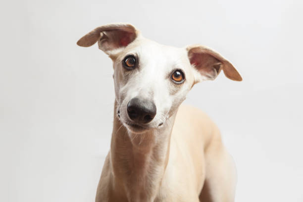 studio portrait of a beautiful whippet dog studio portrait of a beautiful whippet dog whippet stock pictures, royalty-free photos & images