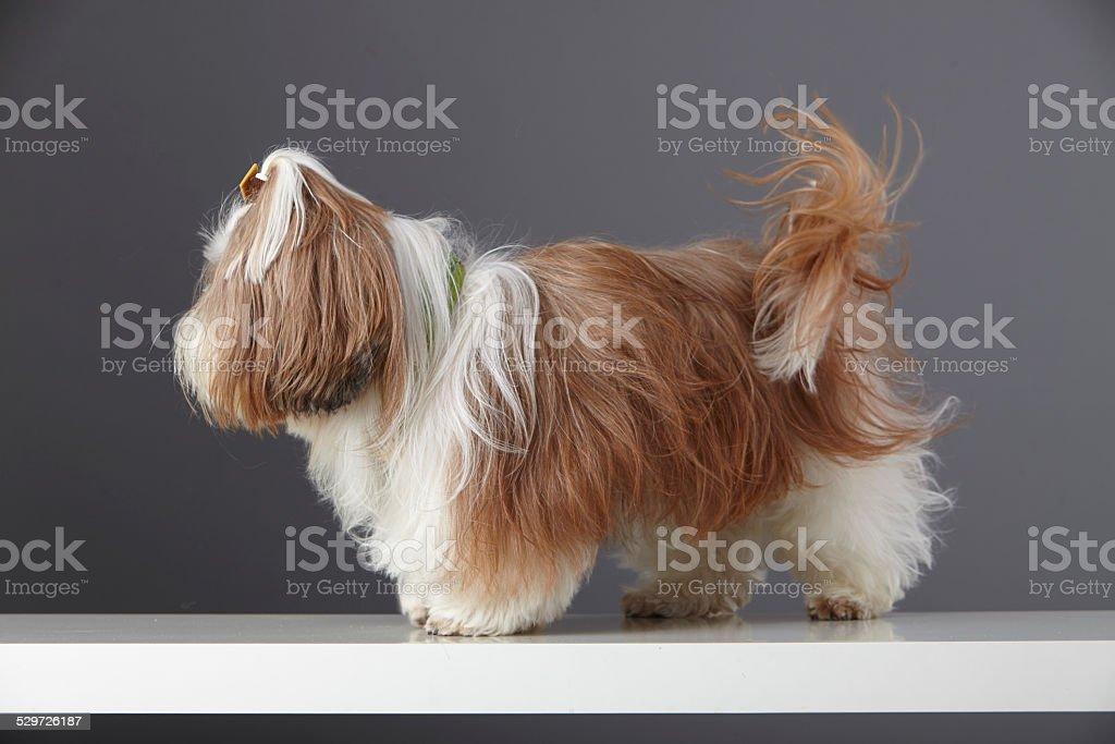 Studio Portrait Of A Brown And White Shih Tzu Puppy Stock Photo