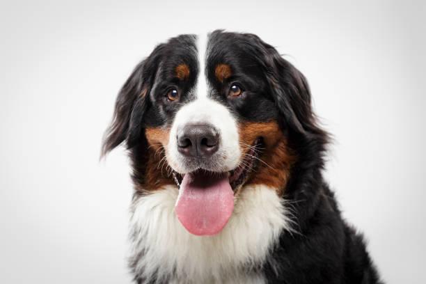 Studio portrait of an expressive Bernese Mountain Dog stock photo