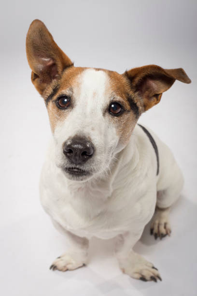 Studio portrait of an expressive Jack Russell Terrier dog stock photo