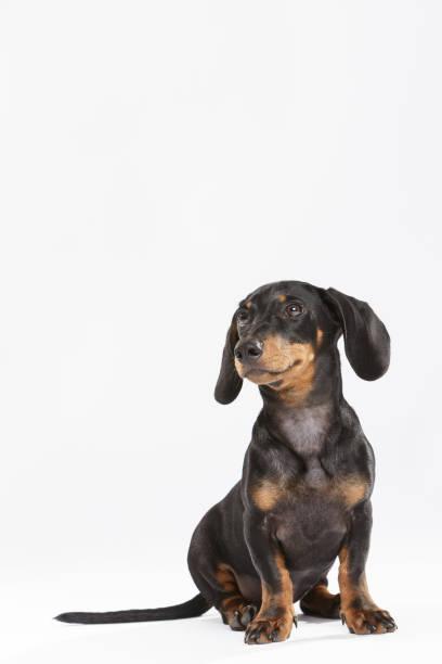 Studio portrait of an expressive Teckel dog stock photo