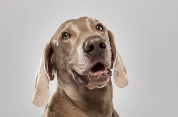 Studio portrait of an expressive Weimaraner dog stock photo