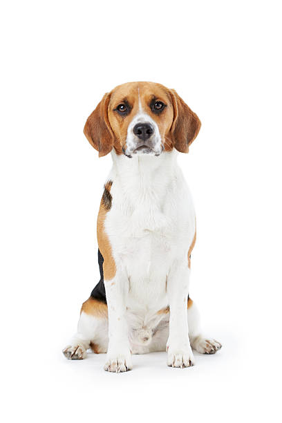 Studio portrait of beagle dog against white background picture id494762061?b=1&k=6&m=494762061&s=612x612&w=0&h=bjbsdldlpny l0ml mfqgzqi20z1uoltl6hofaxkvik=