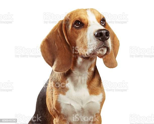 Studio portrait of beagle dog isolated on white background picture id636949290?b=1&k=6&m=636949290&s=612x612&h=r3hduzae2m1yakpan22oggdocyyjrdnlltm4slhnl3c=