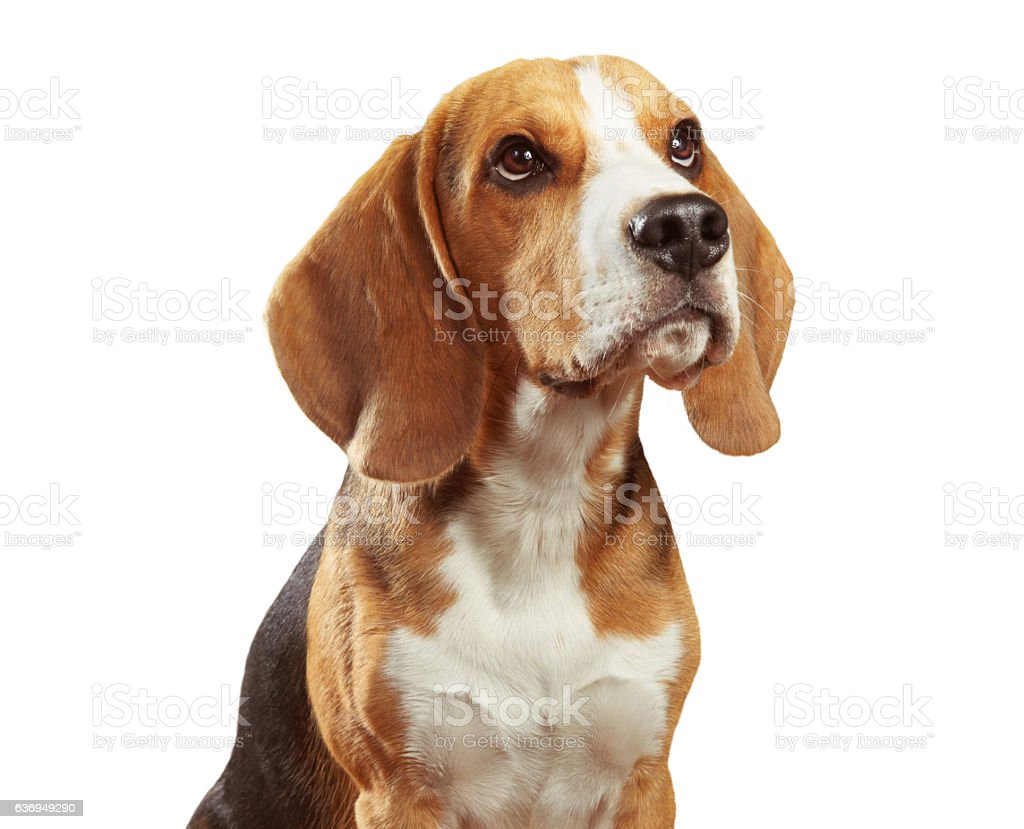 Studio portrait of beagle dog isolated on white background - foto de stock