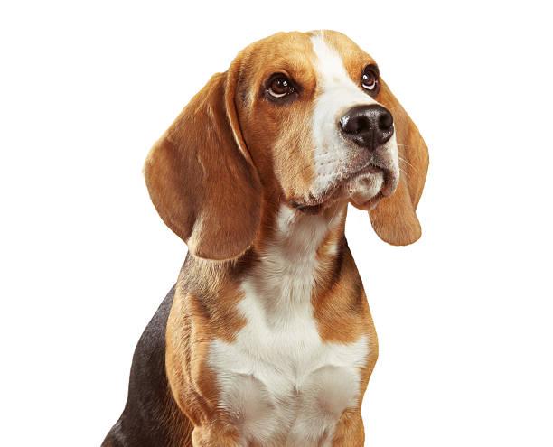 Studio portrait of beagle dog isolated on white background Studio portrait of young beagle dog isolated on white background beagle stock pictures, royalty-free photos & images