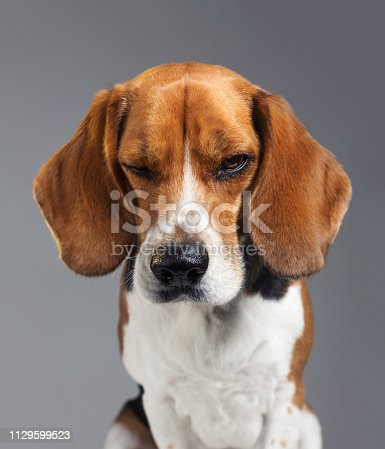 Studio portrait of a purebred Beagle dog. Pet animal is making a face with negative expression. Dog is disappointed against gray background. Vertical studio photography from a DSLR camera. Sharp focus on eyes.