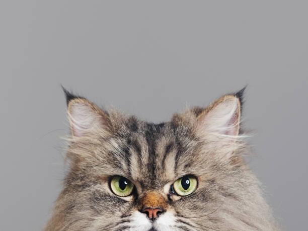 Studio portrait of purebred persian cat looking at camera with picture id1135267827?b=1&k=6&m=1135267827&s=612x612&w=0&h=vacft9d2frgyq9zychwuvax6xs6khmjaplnzjb6s2 k=