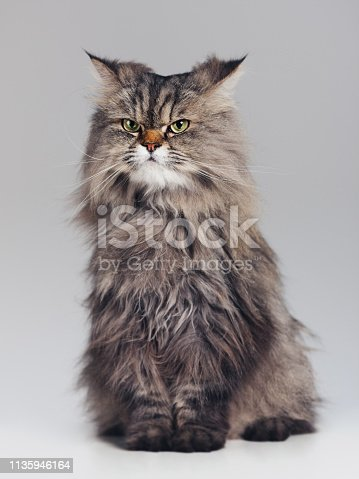 Full body portrait of purebred persian cat against gray background looking away with attitude. Sharp focus on eyes. Square studio portrait.