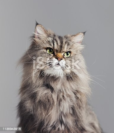 Close up portrait of purebred persian cat against gray background looking to the side with attitude. Sharp focus on eyes. Vertical studio portrait.