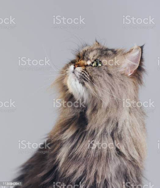 Studio portrait of purebred persian cat looking up with attitude picture id1135943941?b=1&k=6&m=1135943941&s=612x612&h=djxgoypfxguhrrd209jn 4 yews9aiu6xs gwhcgyzc=