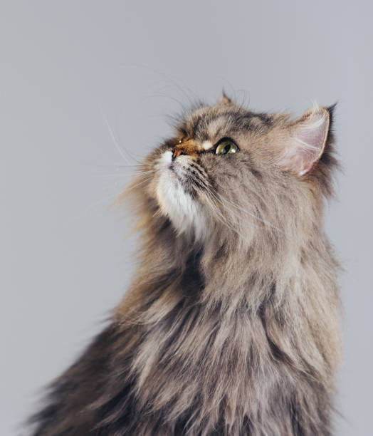 Studio portrait of purebred persian cat looking up with attitude picture id1135943941?b=1&k=6&m=1135943941&s=612x612&w=0&h=9fsd487iq4auwy1ccwscmhpwa1fhx txta692gjfsoo=
