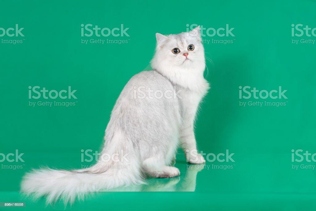 Retrato de estudio de gato de pelo largo británico blanco sobre fondo verde - foto de stock
