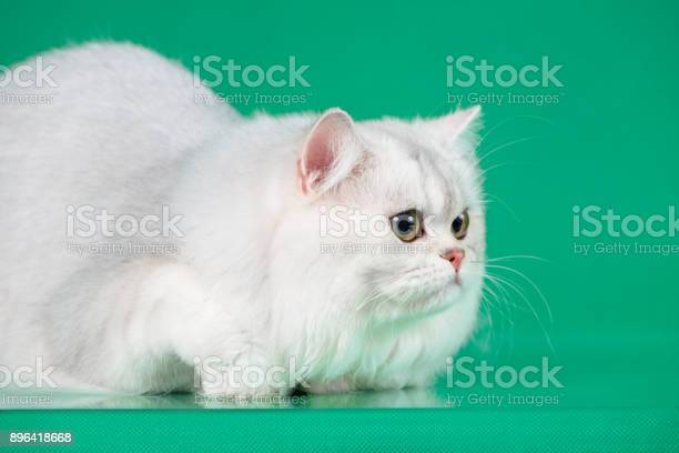 Studio portrait of white british long hair cat on green background picture id896418668?b=1&k=6&m=896418668&s=612x612&h=6prl5g5aqjna81 qlc 3li g kn5xvbp nyjgnk6vsc=