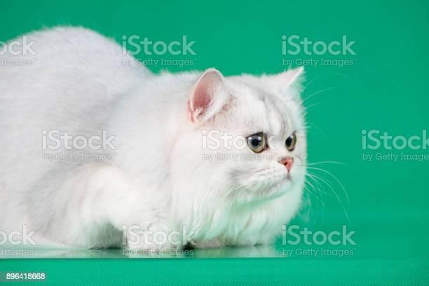 Studio portrait of white british long hair cat on green background picture id896418668?b=1&k=6&m=896418668&s=612x612&h=6prl5g5aqjna81 qlc 3li g kn5xvbp nyjgnk6vsc=