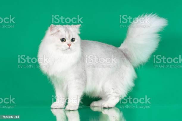Studio portrait of white british long hair cat with green eyes picture id899497014?b=1&k=6&m=899497014&s=612x612&h=jrhukdbustzrrwlvgdynovp8mj3igpfg9a5hu  lxcq=