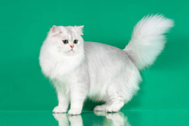 Studio portrait of white british long hair cat with green eyes picture id899497014?b=1&k=6&m=899497014&s=612x612&w=0&h=w33tgf6luhfhuk1 swkdtvl5z1ik5u65dqibzmasg0m=