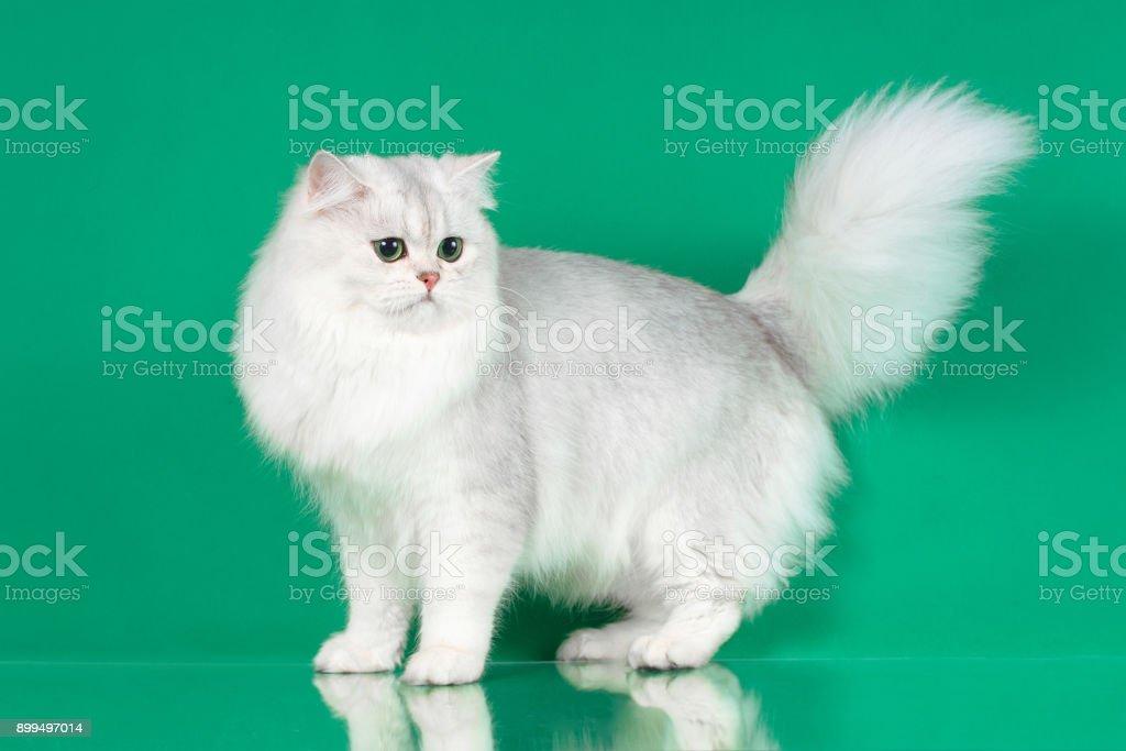 Retrato de estudio de gato de pelo largo británico blanco con ojos verdes - foto de stock