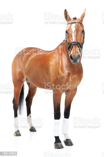 Studio shoot of horse picture id183416653?b=1&k=6&m=183416653&s=612x612&h=ibnt8y33v dtethtiw2nihkkm4dosobbk z5mzwkdrk=