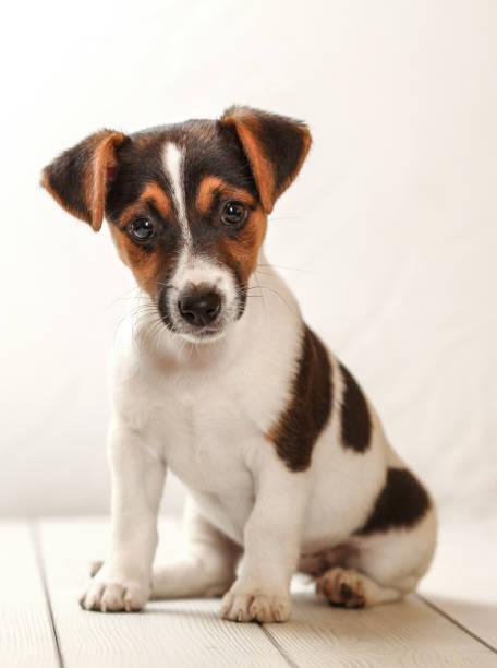 Studio shot jack russell terrier puppy sitting on white boards picture id1067084662?b=1&k=6&m=1067084662&s=612x612&w=0&h= govnjjlwrbwjgqjpemq0gkca0y3e cw5b4hth5e9yk=