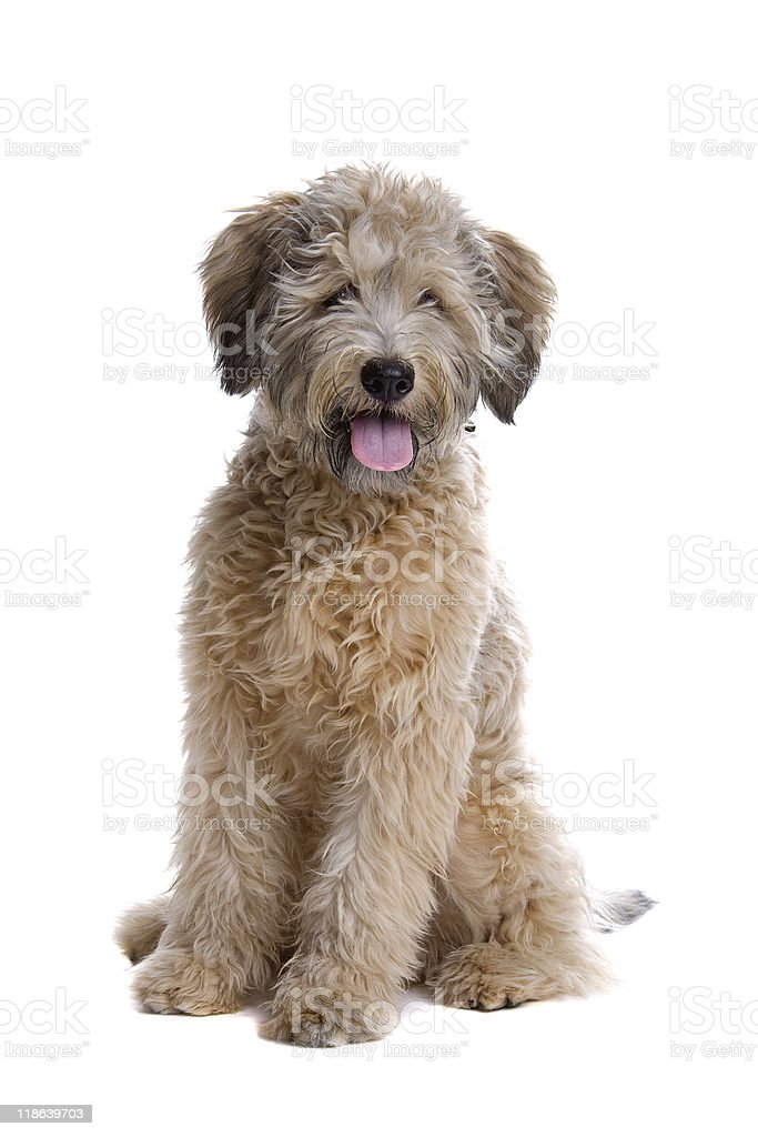 Studio shot mixed-breed poodle front view stock photo