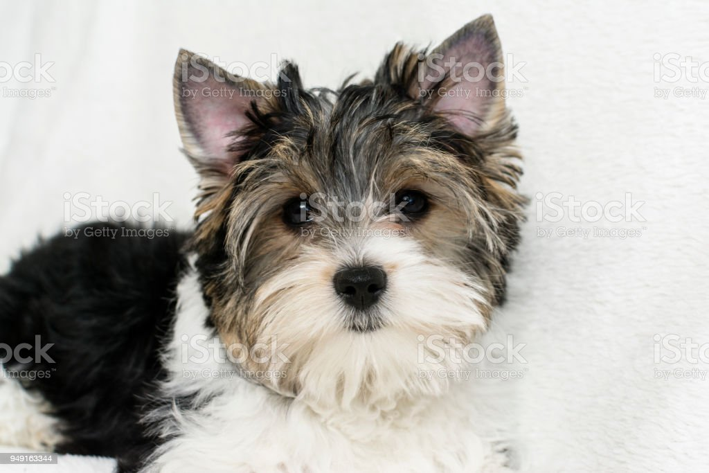 Studio Shot Of A Cute Biewer Yorkshire Terrier Puppy Lying On White