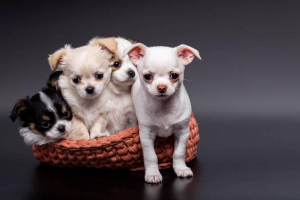 Studioaufnahme von einem anderen Chihuahua-Welpen in gestricktem Korb auf dunklem Hintergrund – Foto