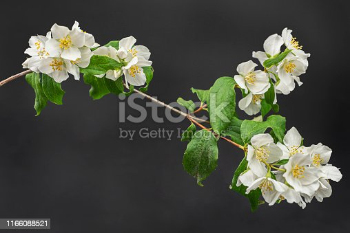 """Studio shot of a bloomed branch go mock orange with a black background.   English dogwood is also known as sweet mock-orange and its latin name, Philadelphus coronarius. Is an European scented flowering bush that blooms late spring/ early summer. In some countries is also known as """"fake jasmine"""". The flower meaning is actually """"deceit"""". Easy image to edit"""
