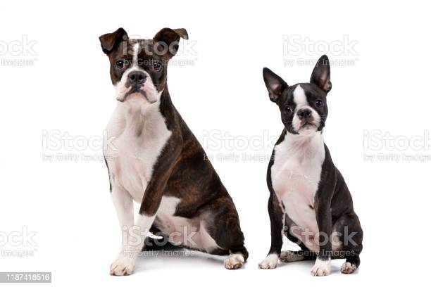Studio shot of an adarable boxer and a boston terrier picture id1187418516?b=1&k=6&m=1187418516&s=612x612&h=wej4satzeatk6673ah5vdow vctsxr68eed2ljourvm=